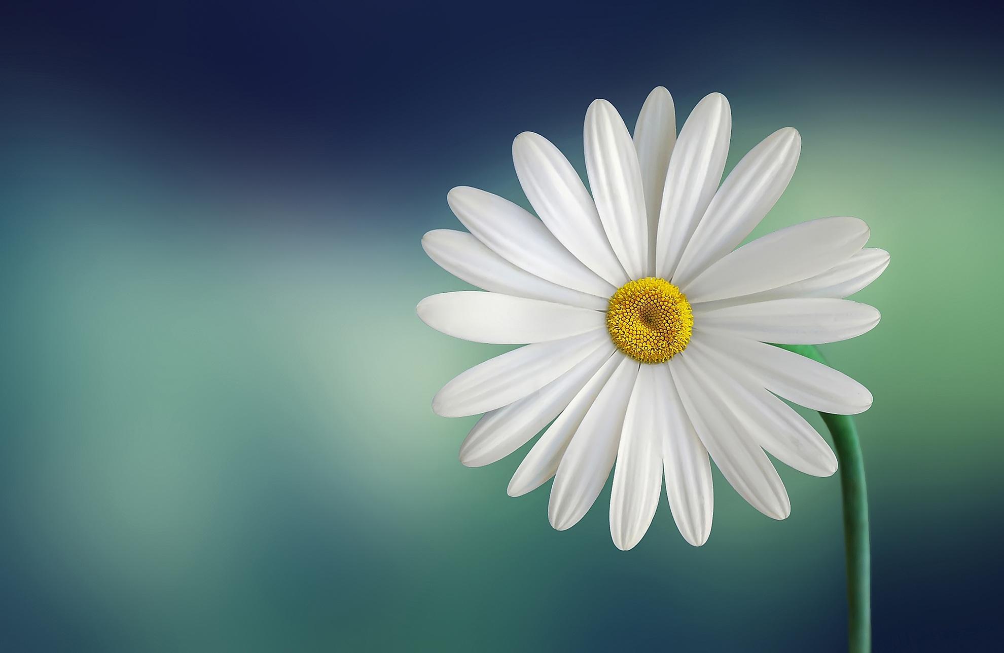 hinh anh hoa cuc dep 78