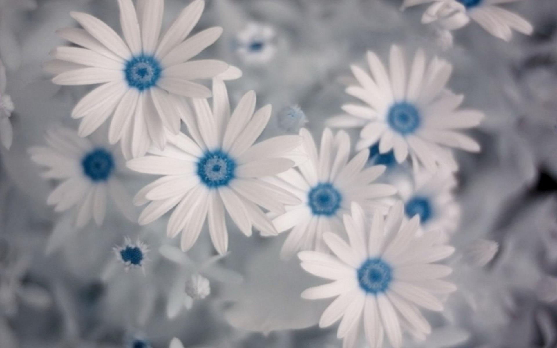 hinh anh hoa cuc dep 8
