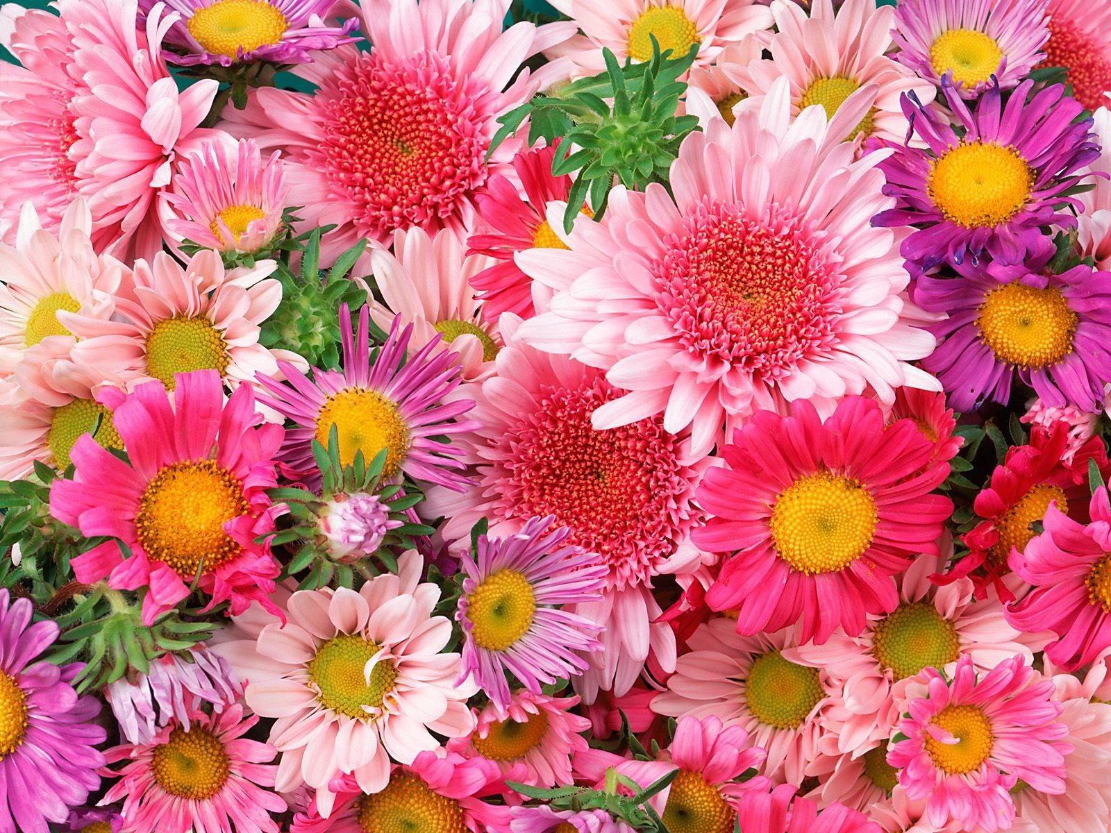 hinh anh hoa cuc dep 80