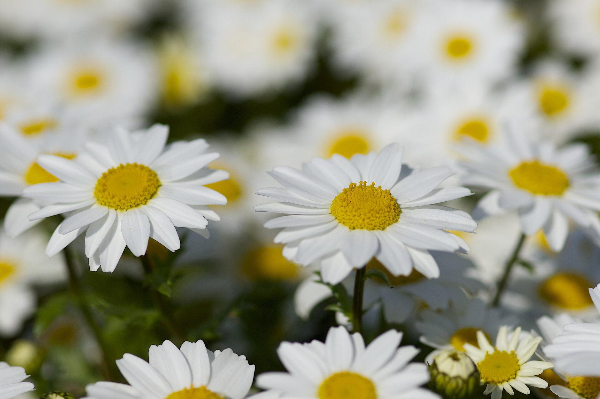 hinh anh hoa cuc dep 9