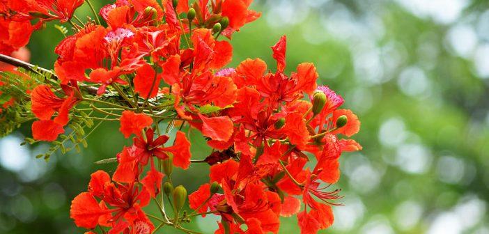 hình ảnh hoa phượng đẹp