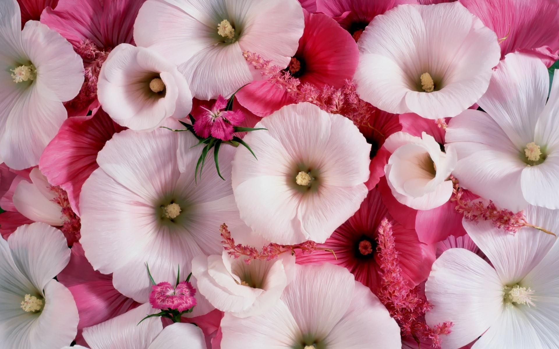 Ланстера белая и розовая цветы фото