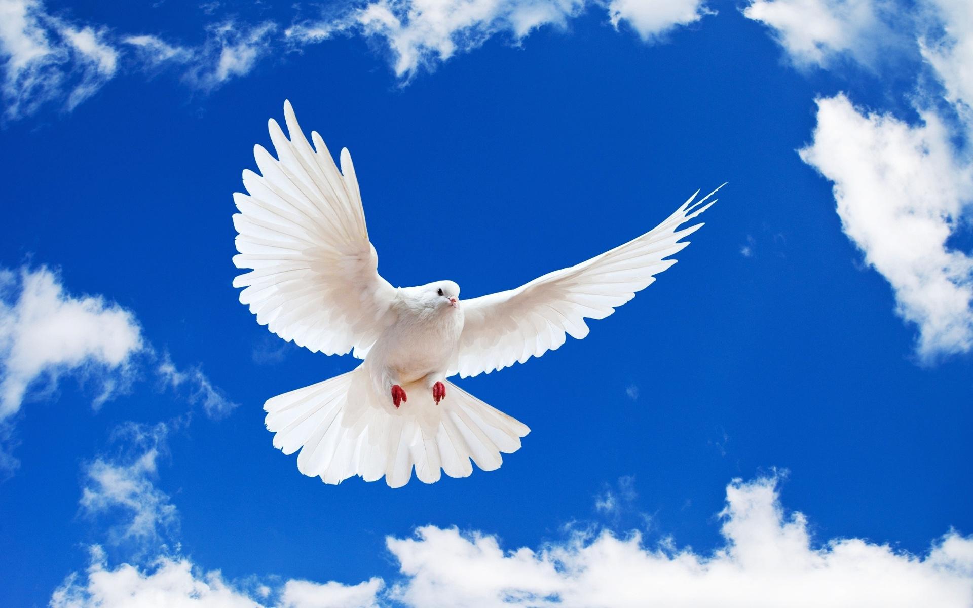 hình ảnh chim bồ câu đẹp nhất