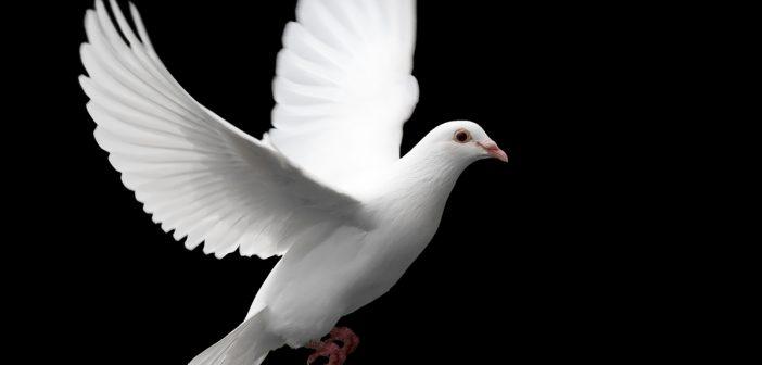 hình nền chim bồ câu đẹp nhất