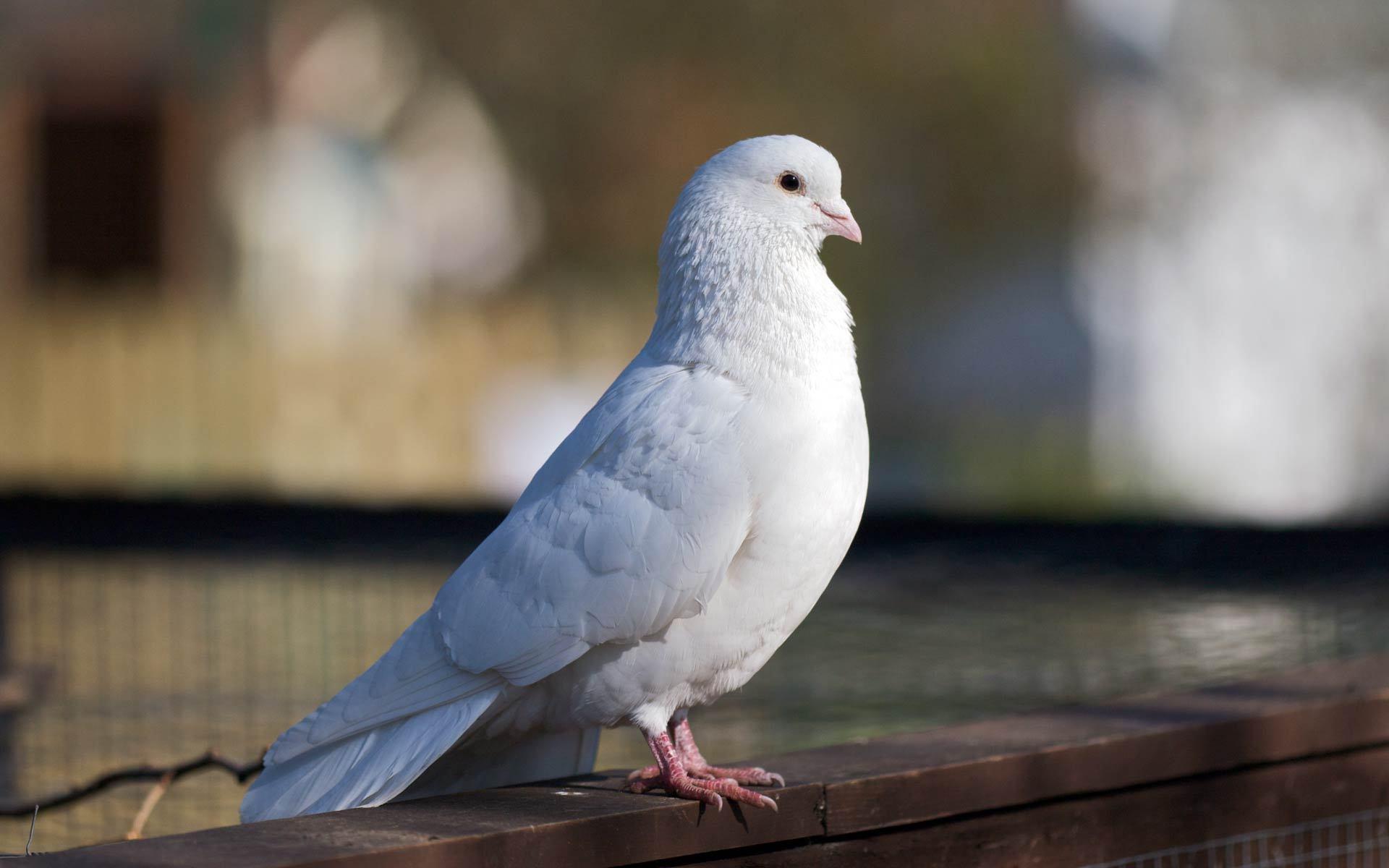 tải ảnh đẹp của chim bồ câu