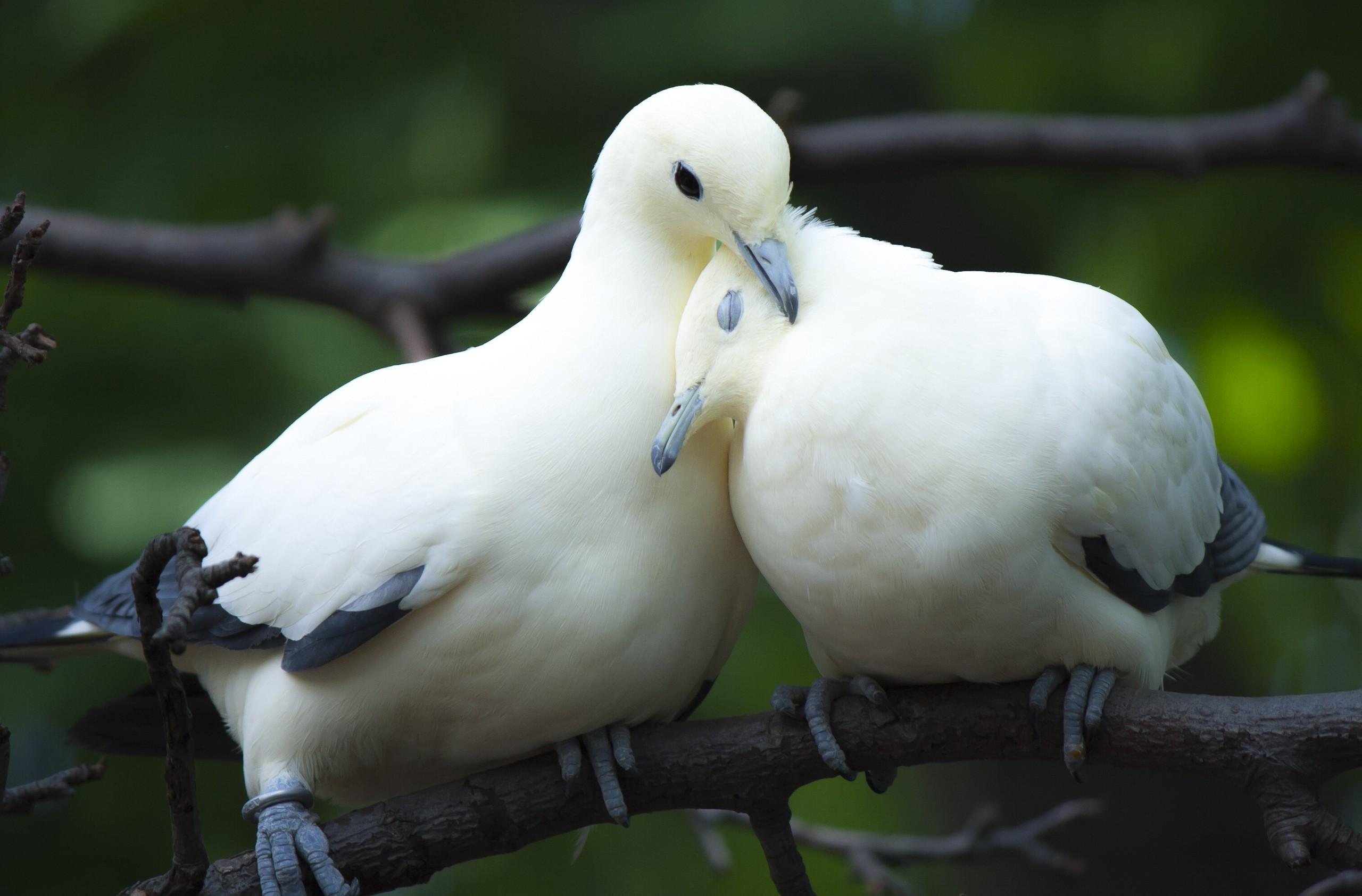 xem ảnh chim bồ câu