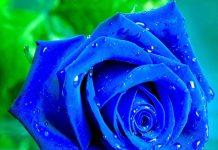 hoa hồng xanh đẹp