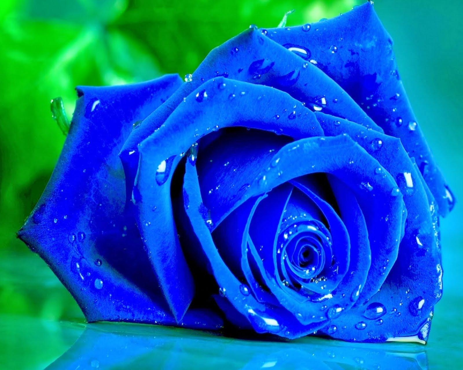 hinh anh hoa hong xanh 13