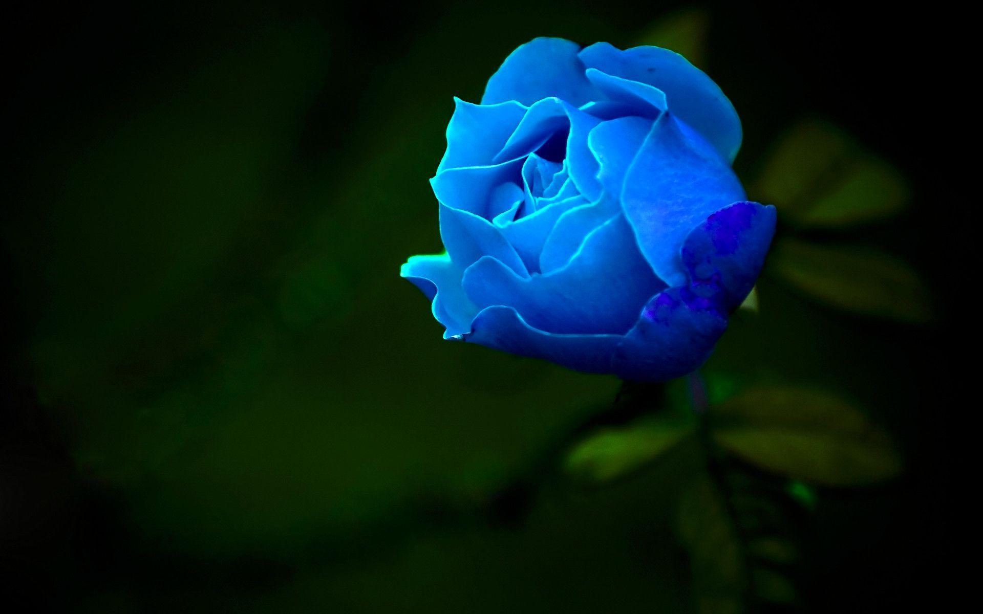 hinh anh hoa hong xanh 15