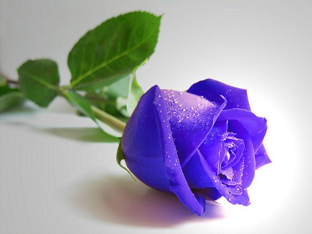 hinh anh hoa hong xanh 16