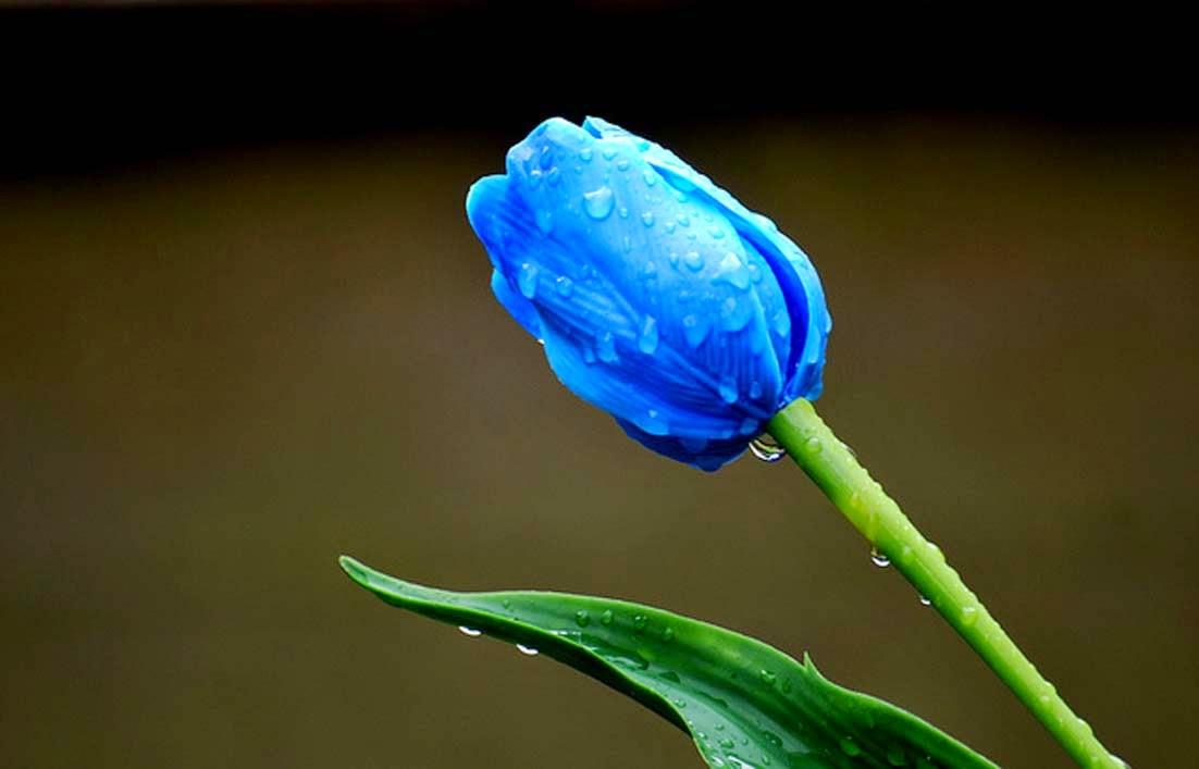 hinh anh hoa hong xanh 17