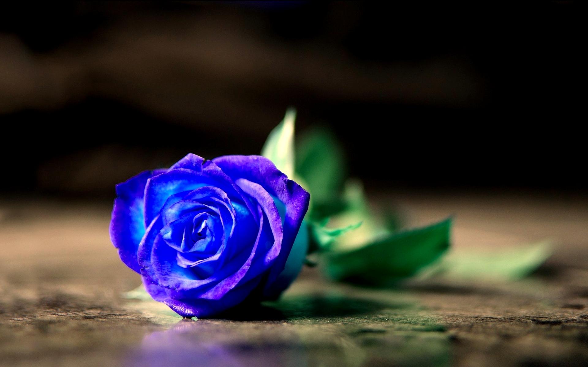hình ảnh hoa hồng màu xanh