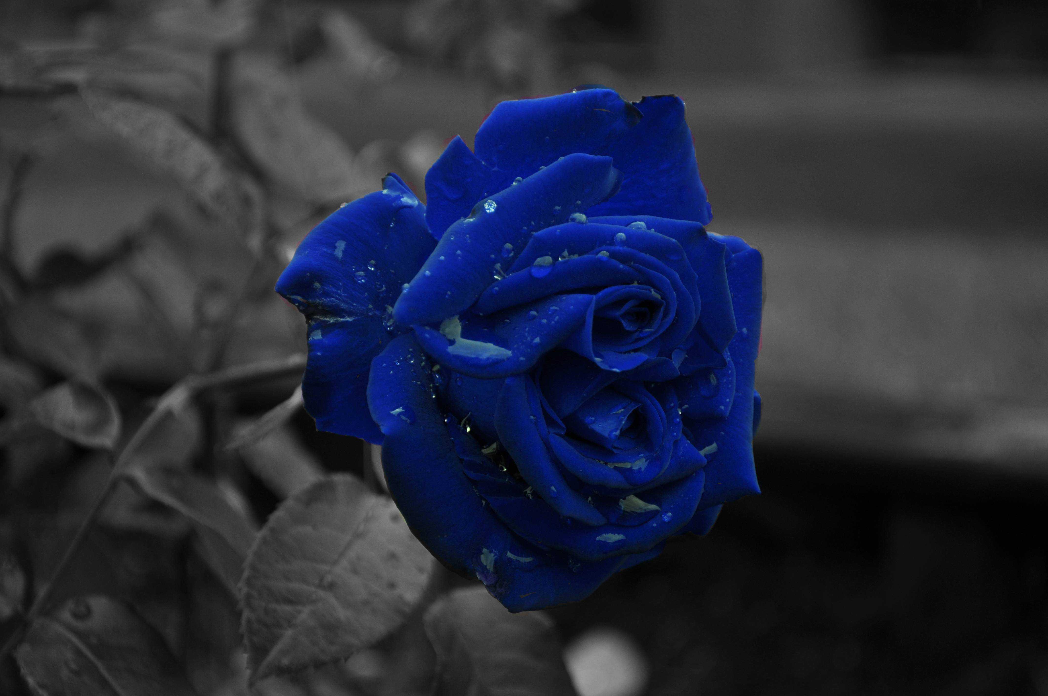 ảnh nền hoa hồng xanh