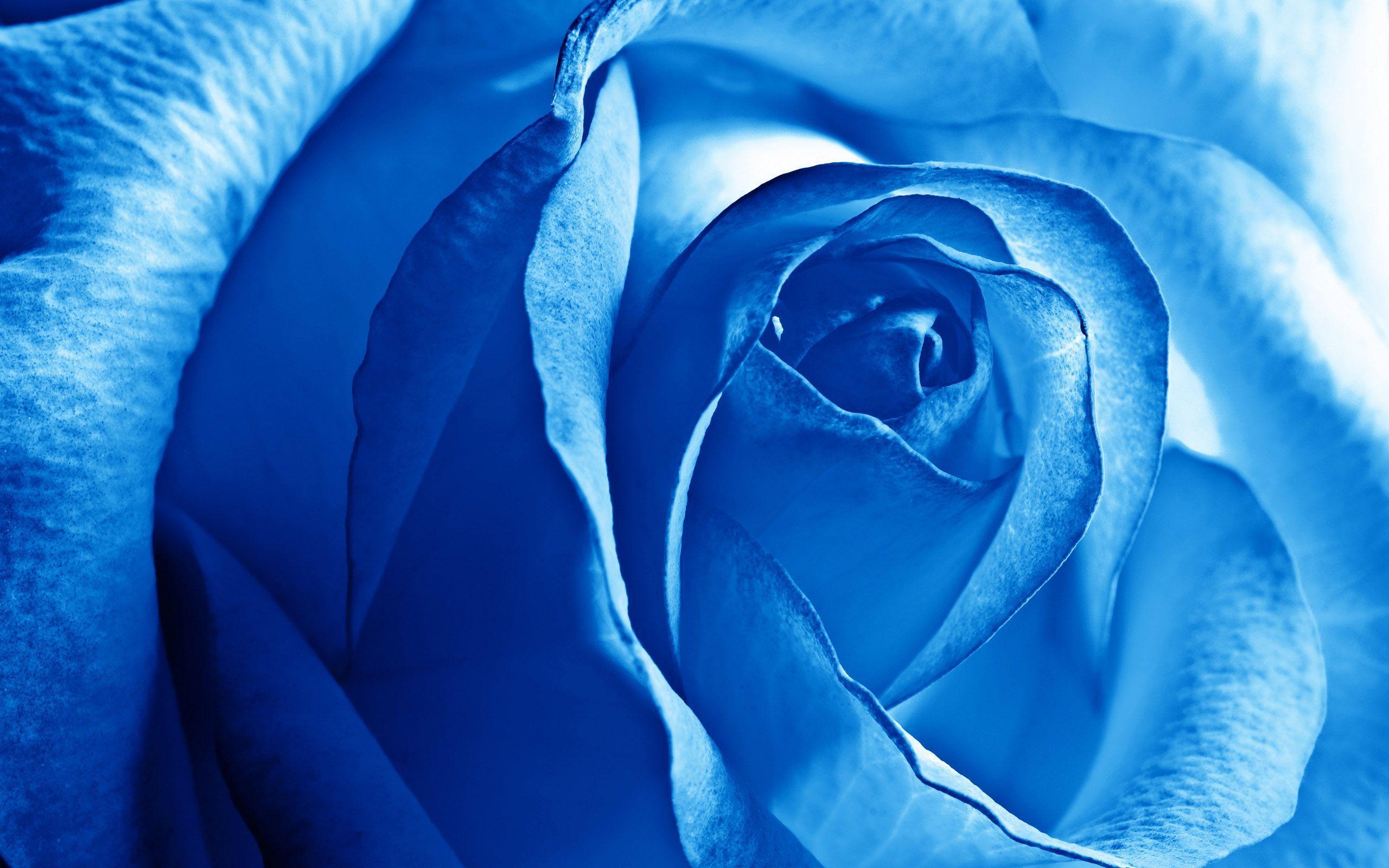 tải ảnh hoa hồng xanh