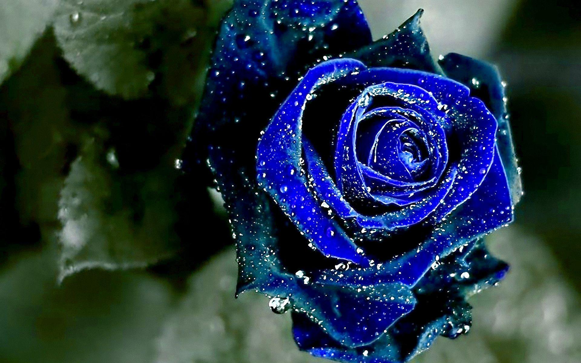 hinh anh hoa hong xanh 6