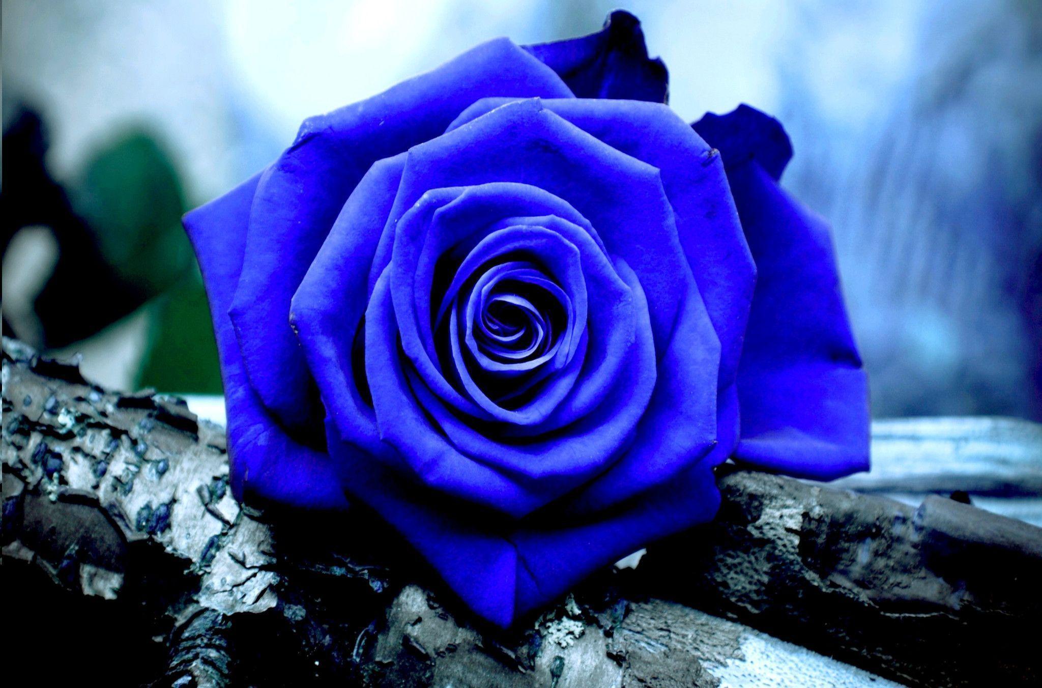 hinh anh hoa hong xanh 8