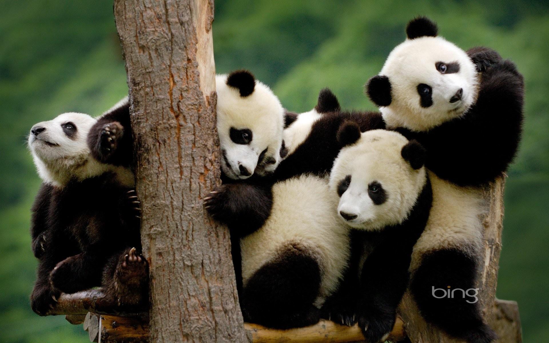hinh gau truc panda 1