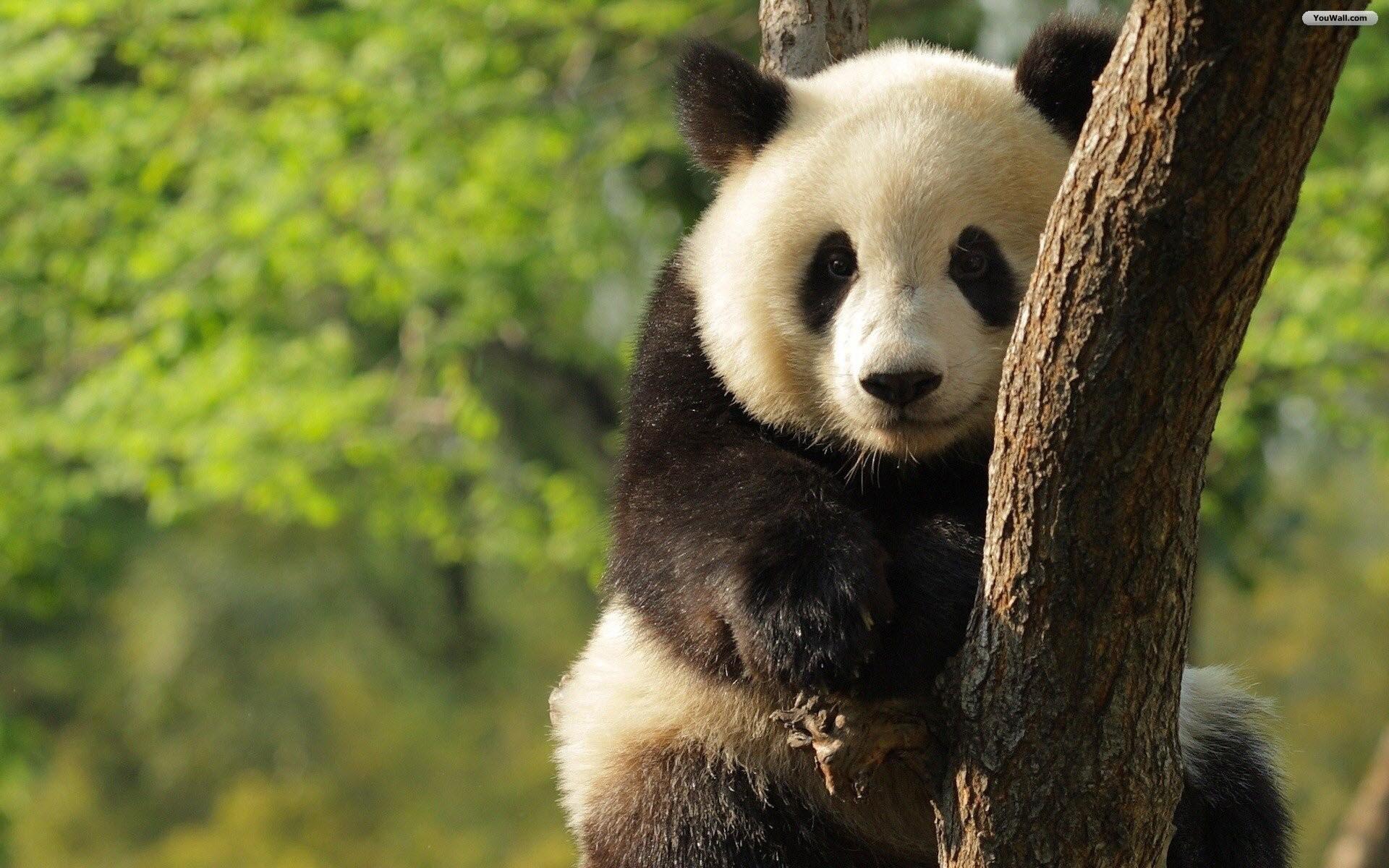 hinh gau truc panda 10