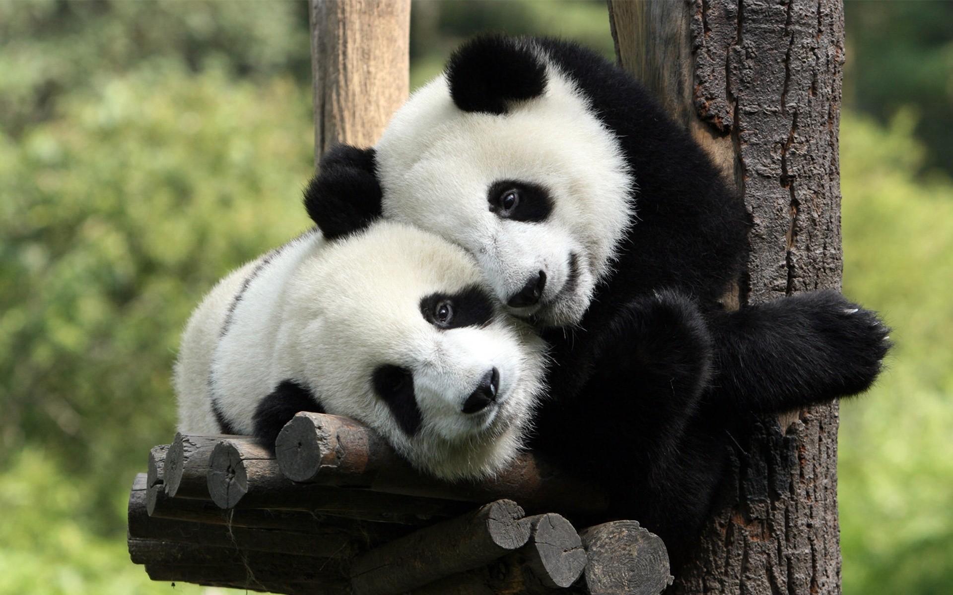 hinh gau truc panda 11