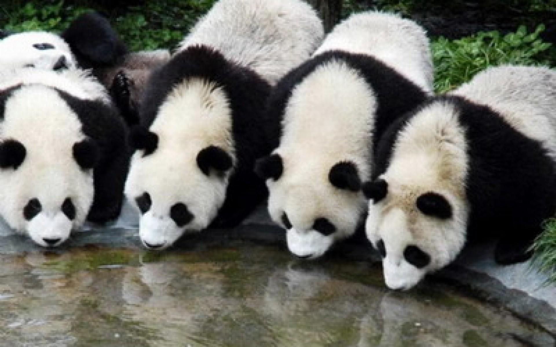 hinh gau truc panda 13