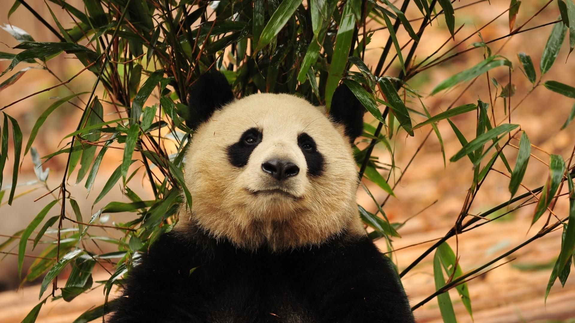 hinh gau truc panda 17
