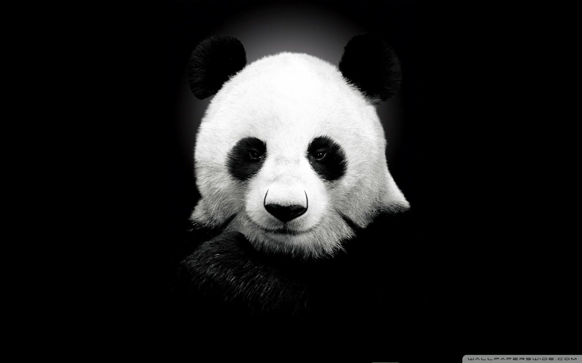 hinh gau truc panda 2