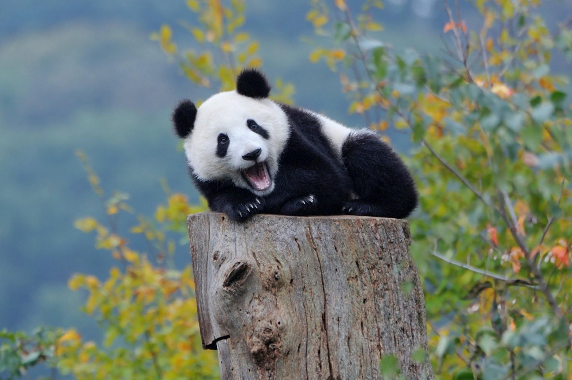 hinh gau truc panda 20