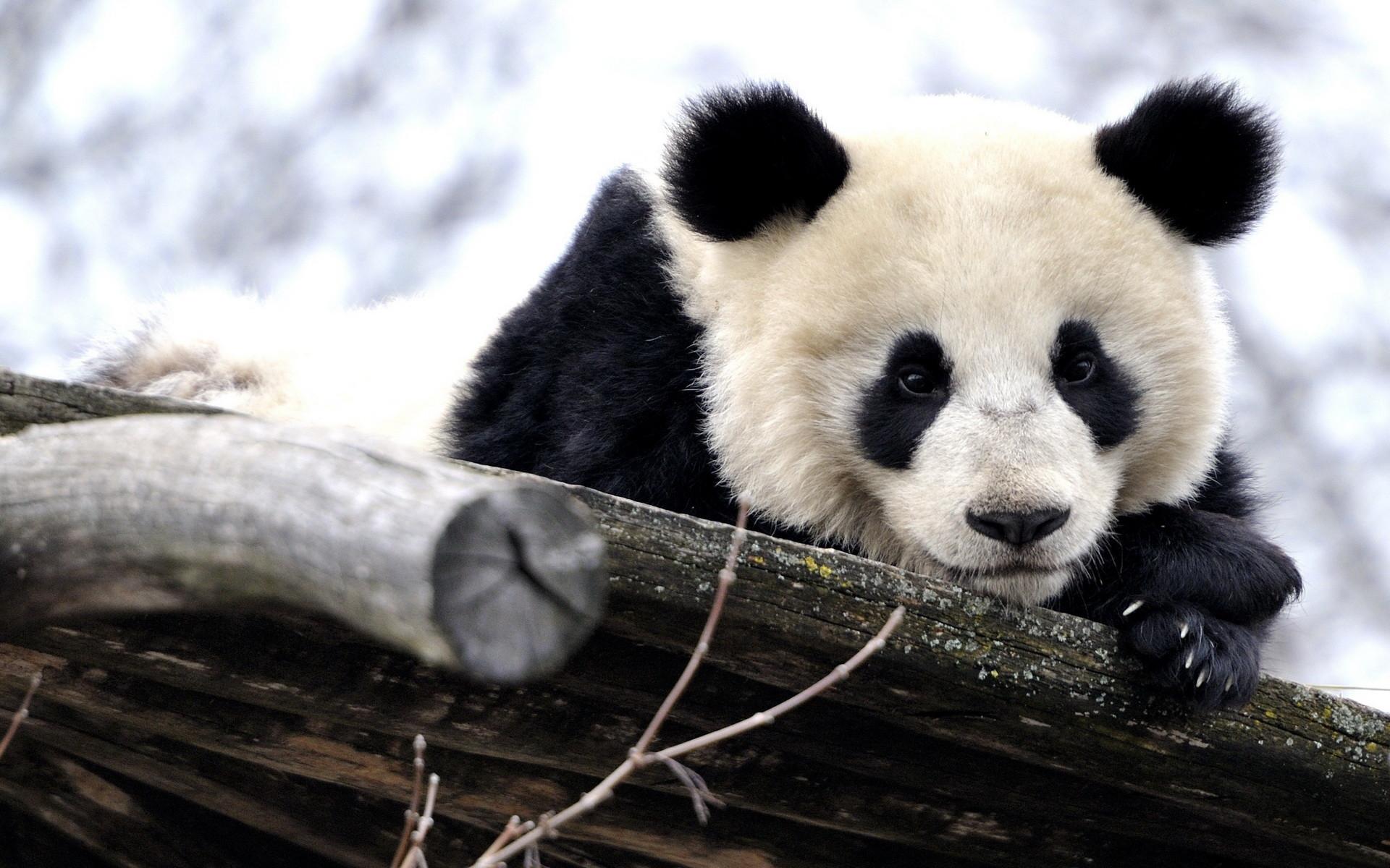 download panda wallpaper hd