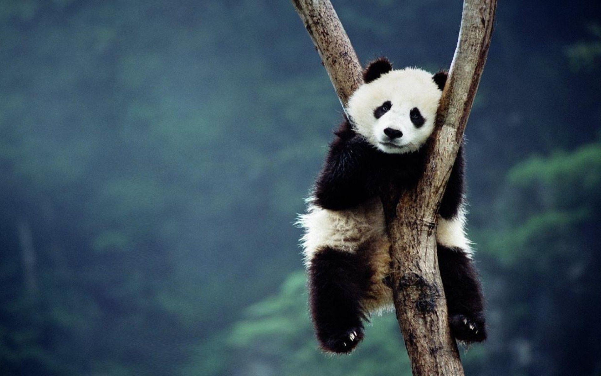hinh gau truc panda 3
