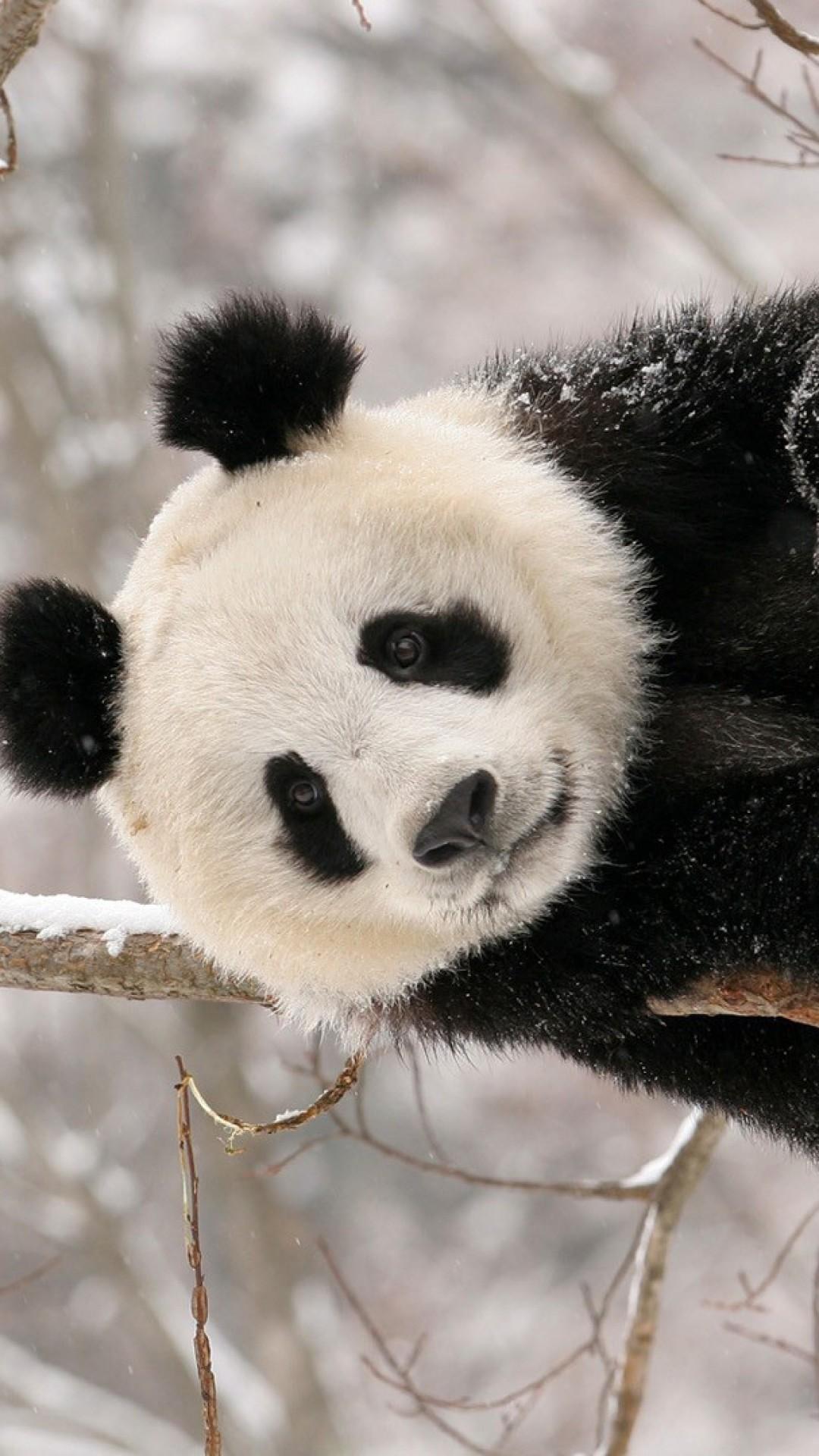 hinh gau truc panda 32