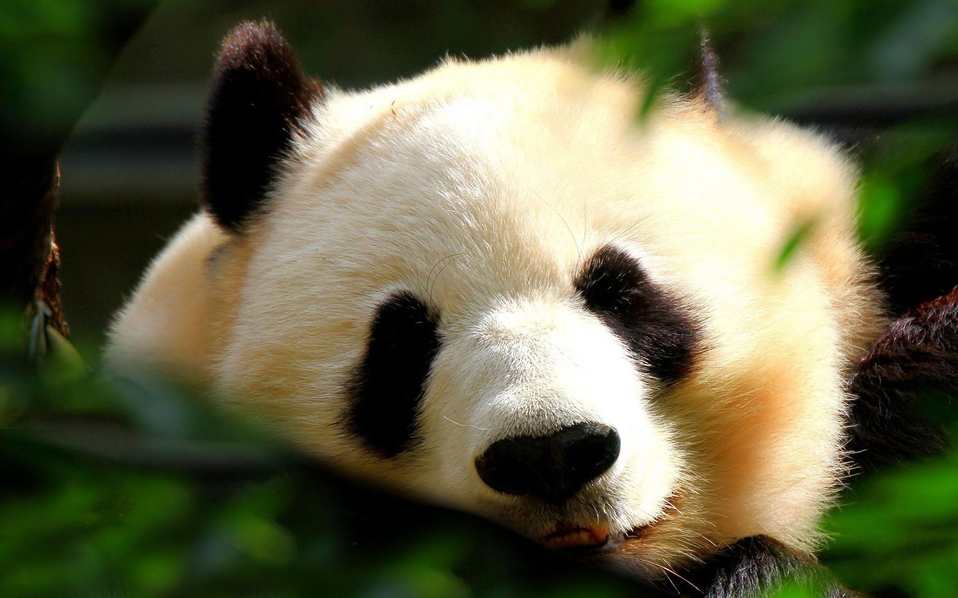 hinh gau truc panda 39
