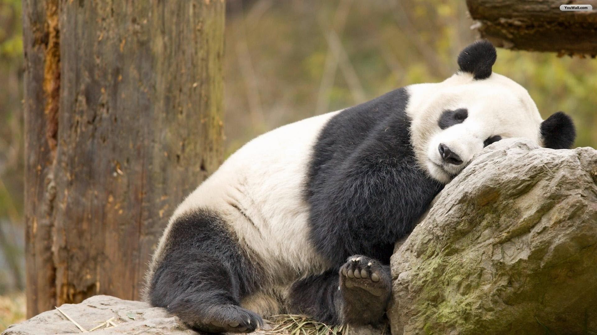 hinh gau truc panda 50