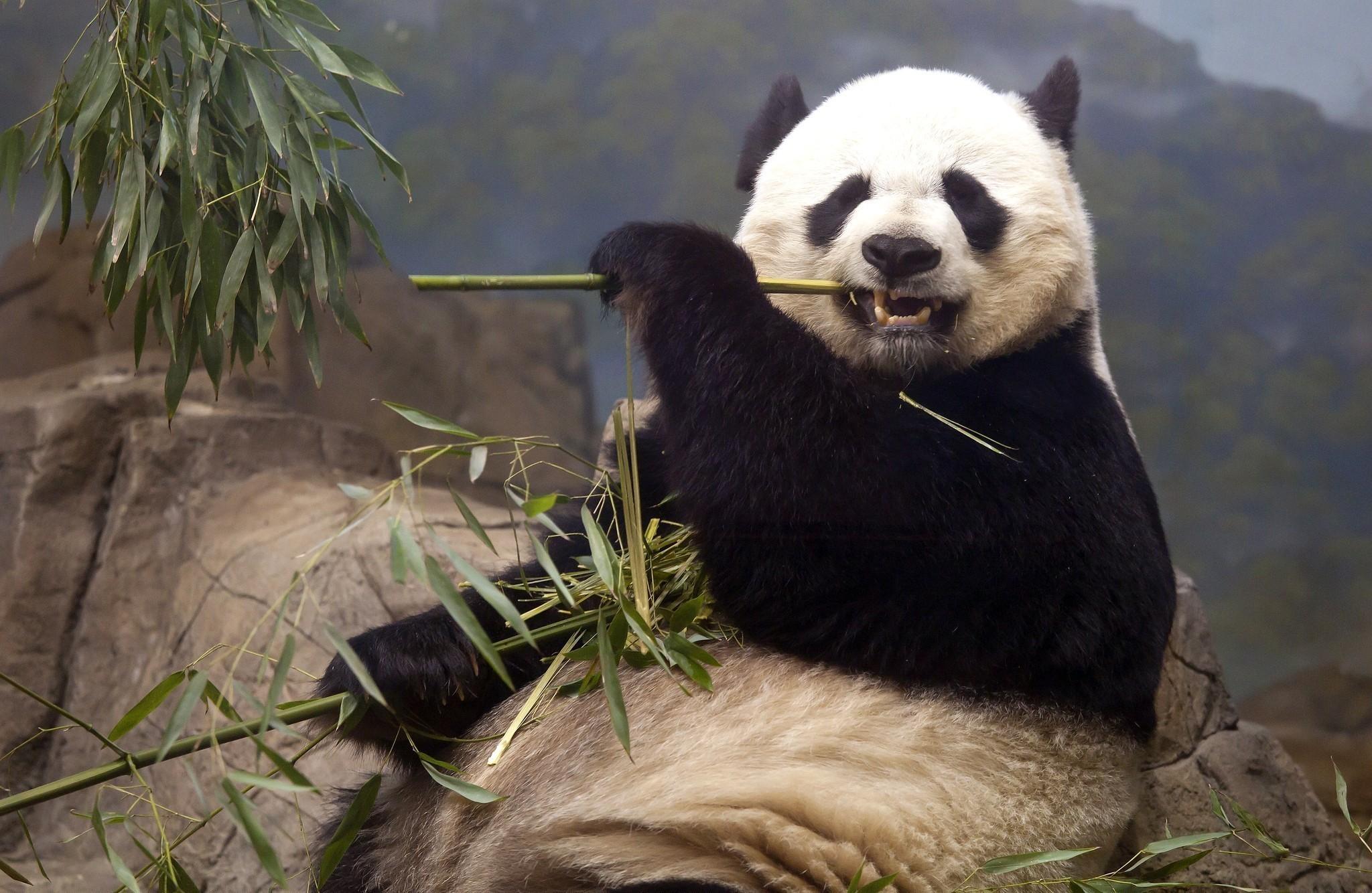 tải ảnh nền gấu trúc panda
