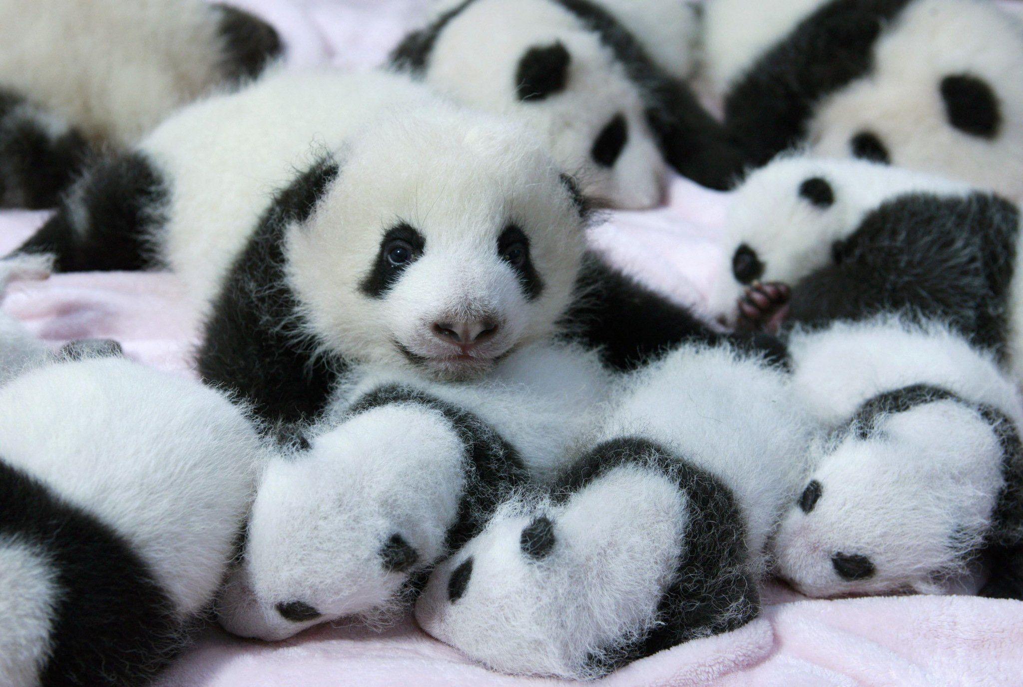 hinh gau truc panda 6