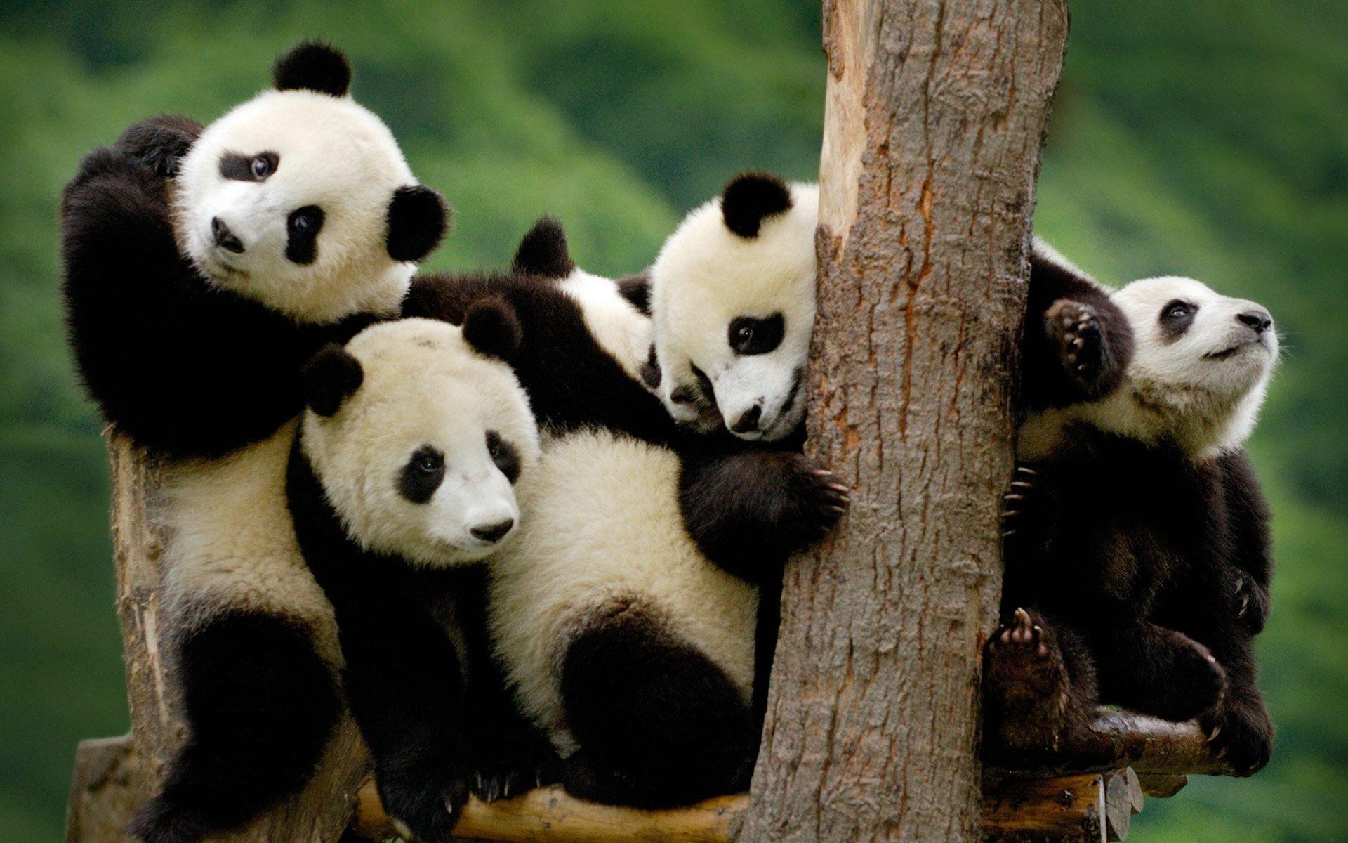 hinh gau truc panda 7