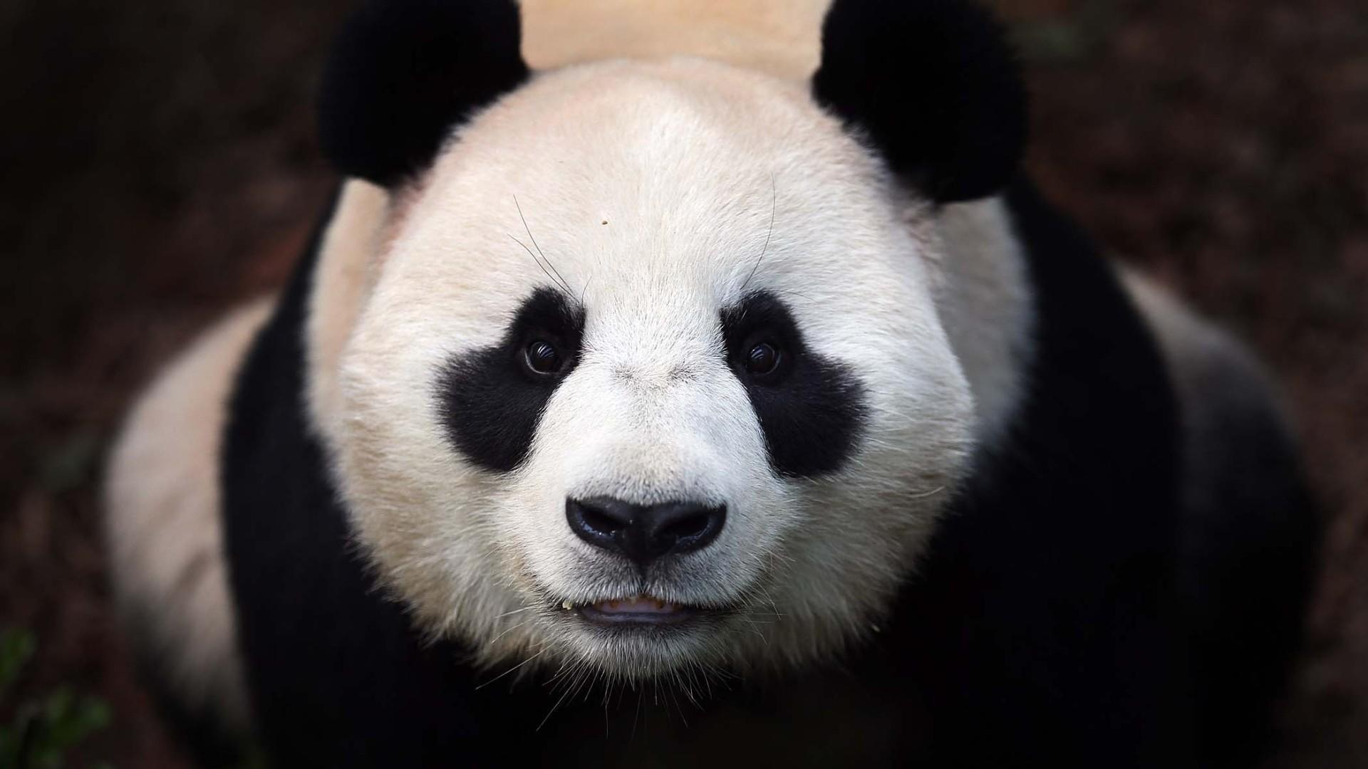 hinh gau truc panda 9