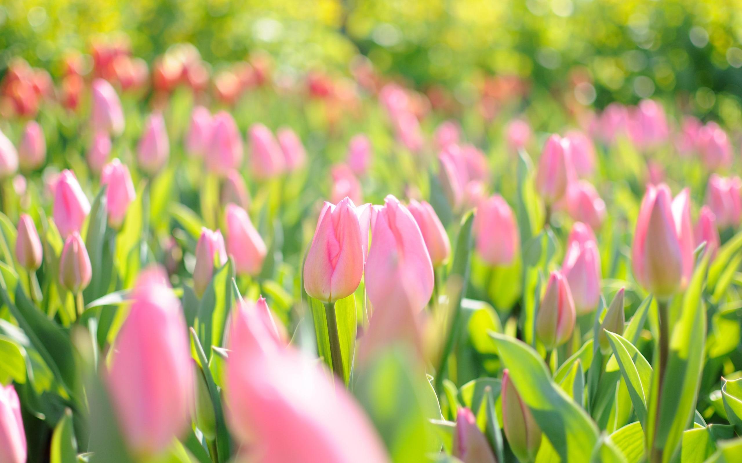 hinh nen hoa tulip 10