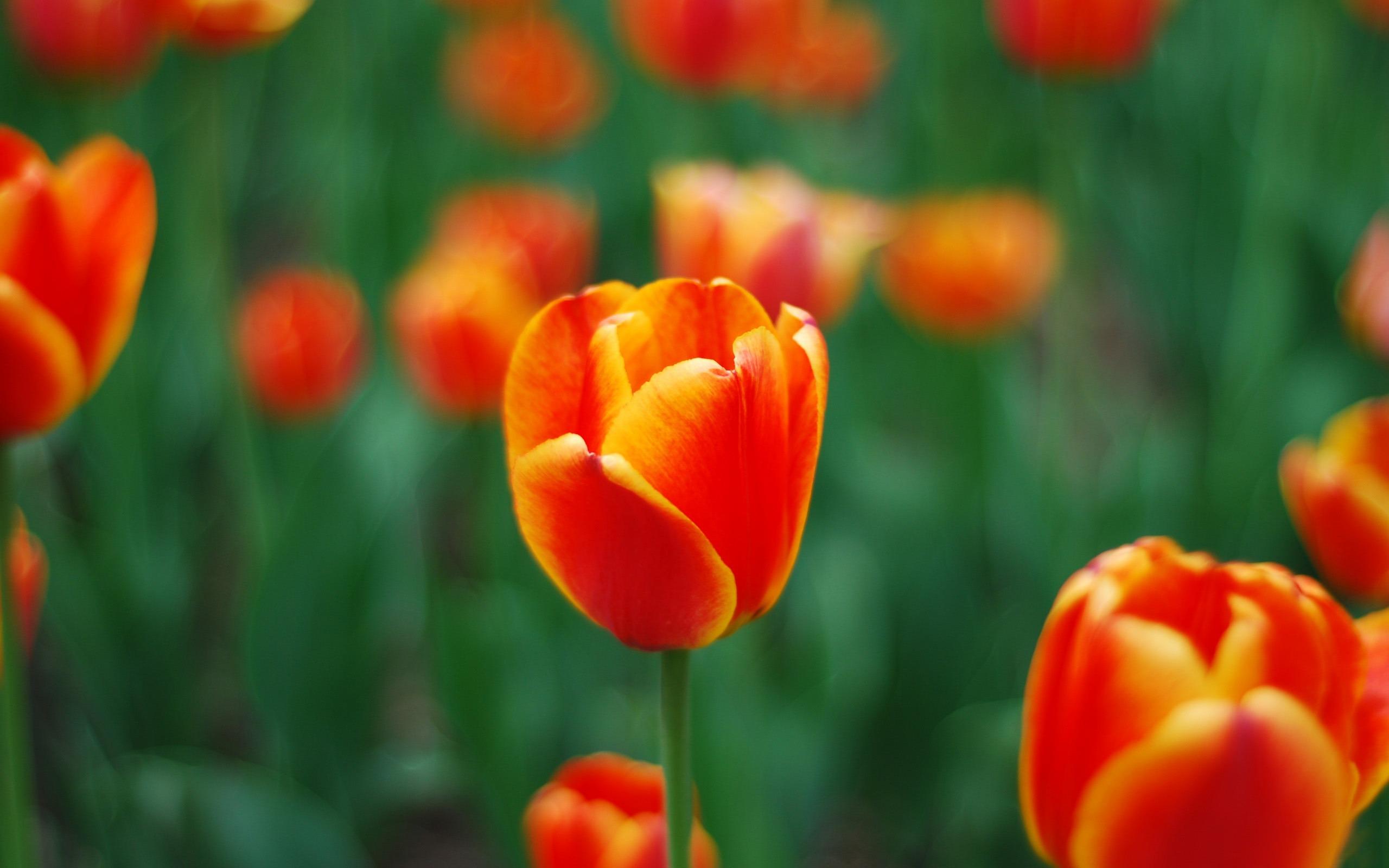 hinh nen hoa tulip 11