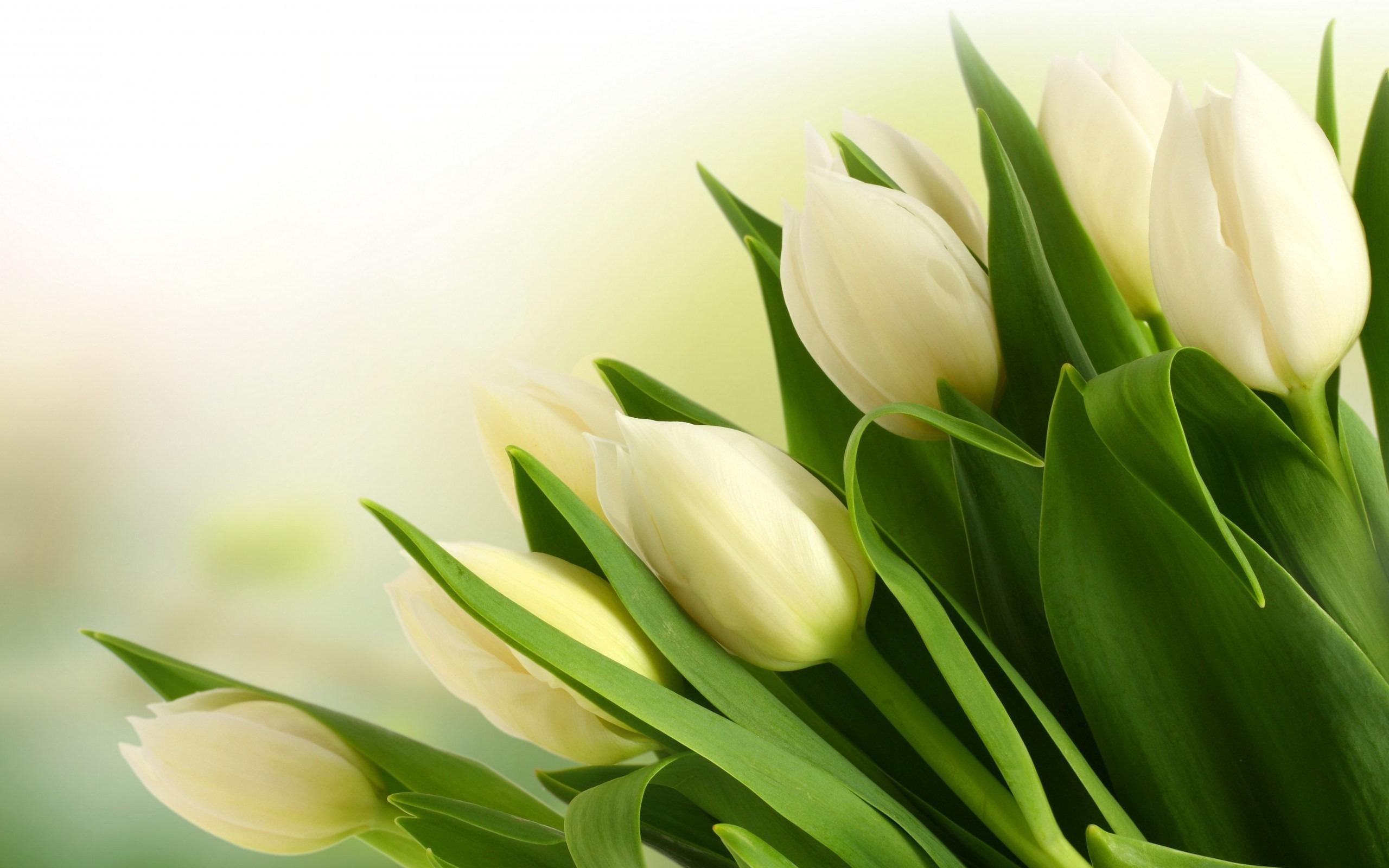 hinh nen hoa tulip 12