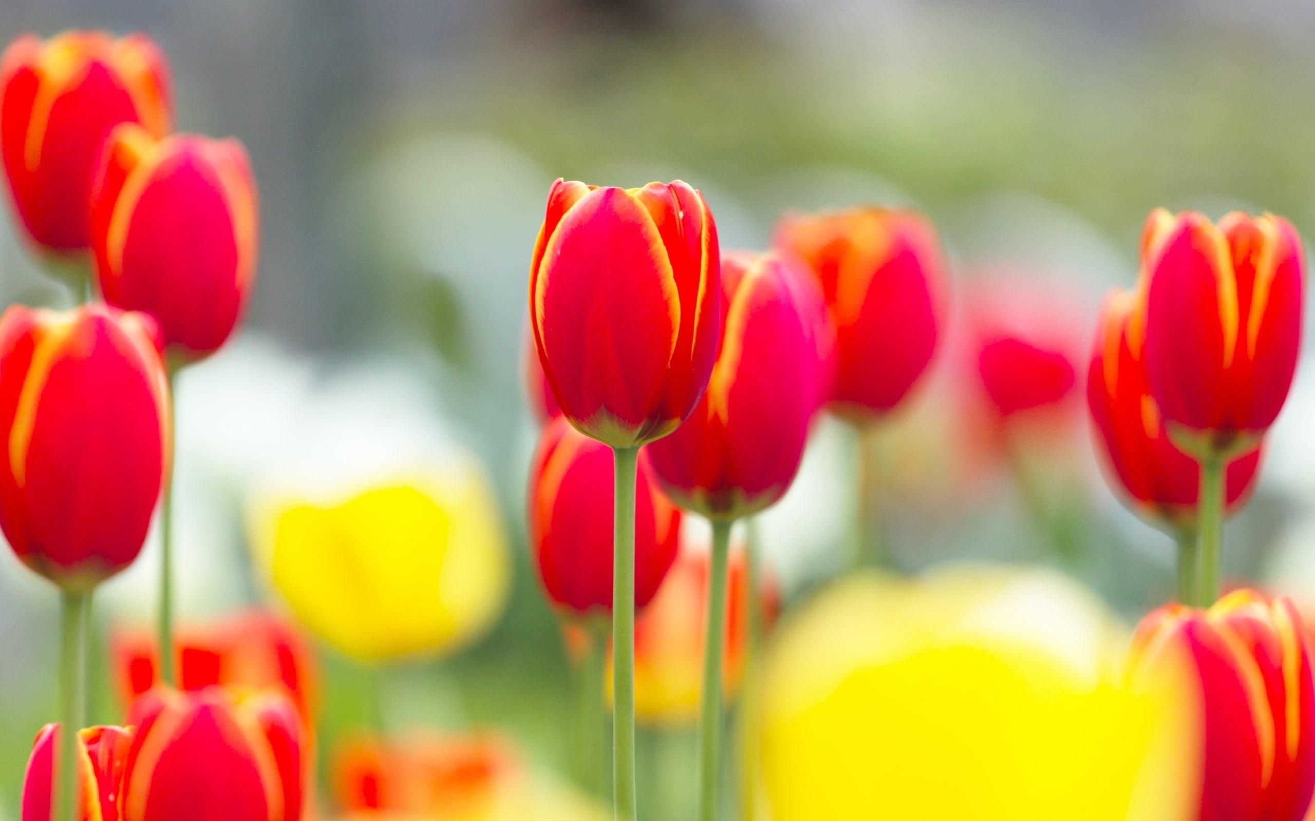 hinh nen hoa tulip 14