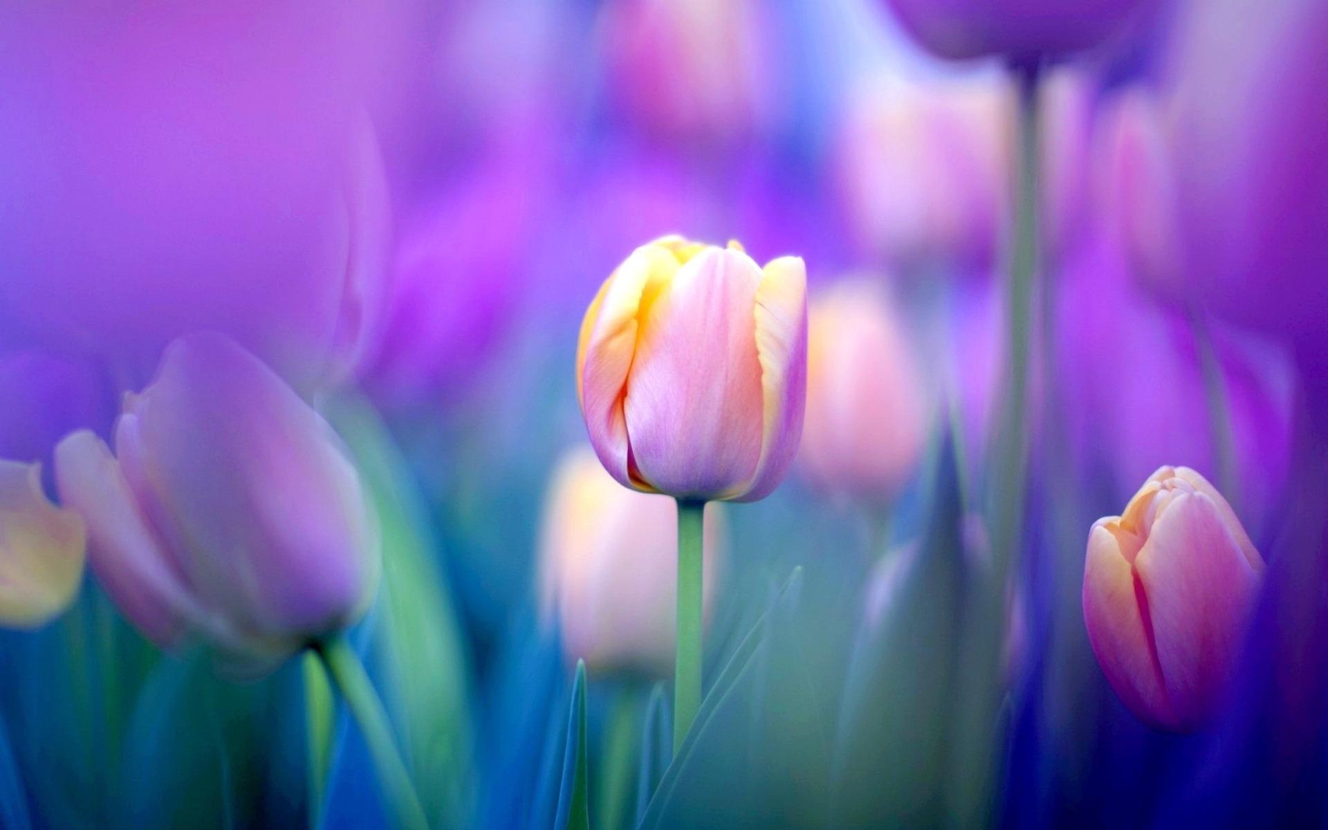 hinh nen hoa tulip 15