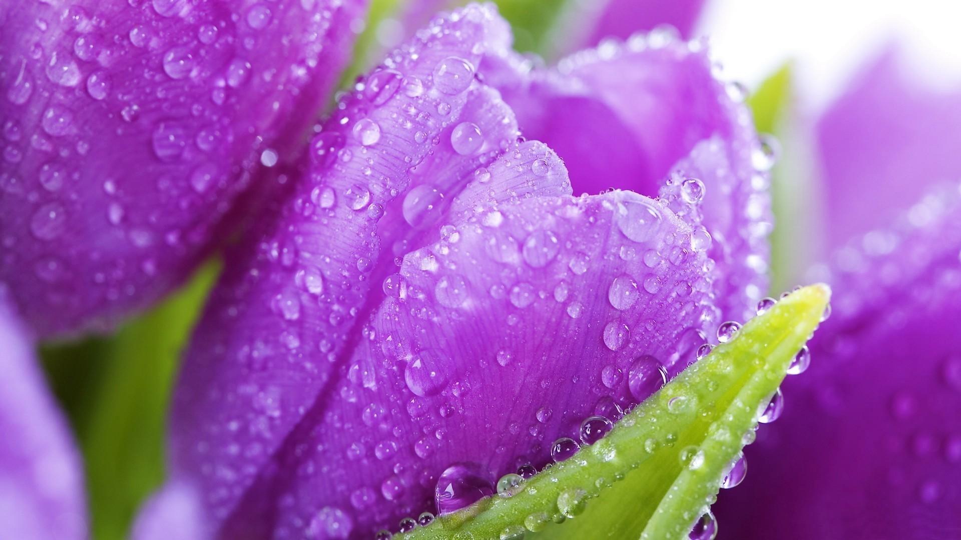 hinh nen hoa tulip 16