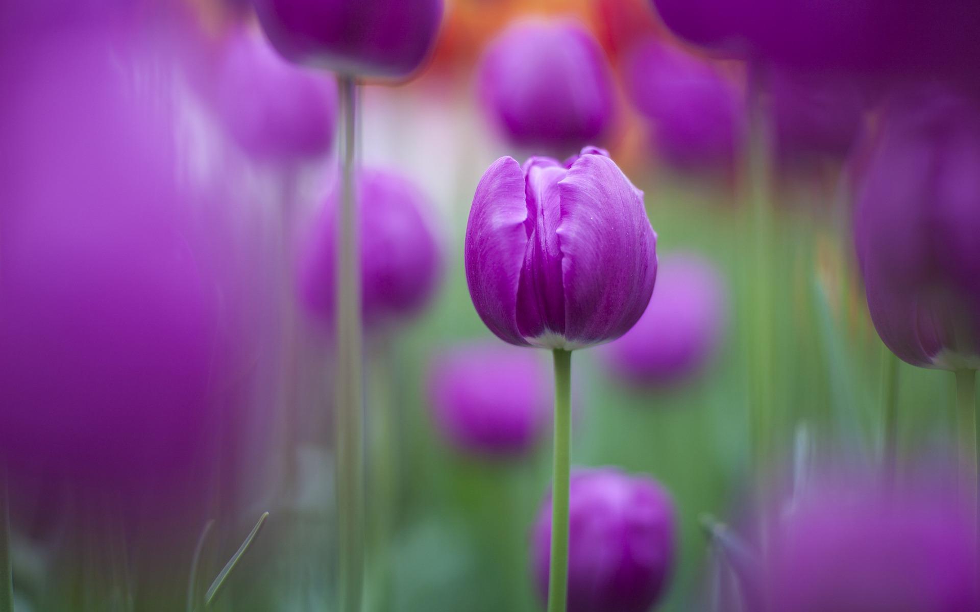 hinh nen hoa tulip 17