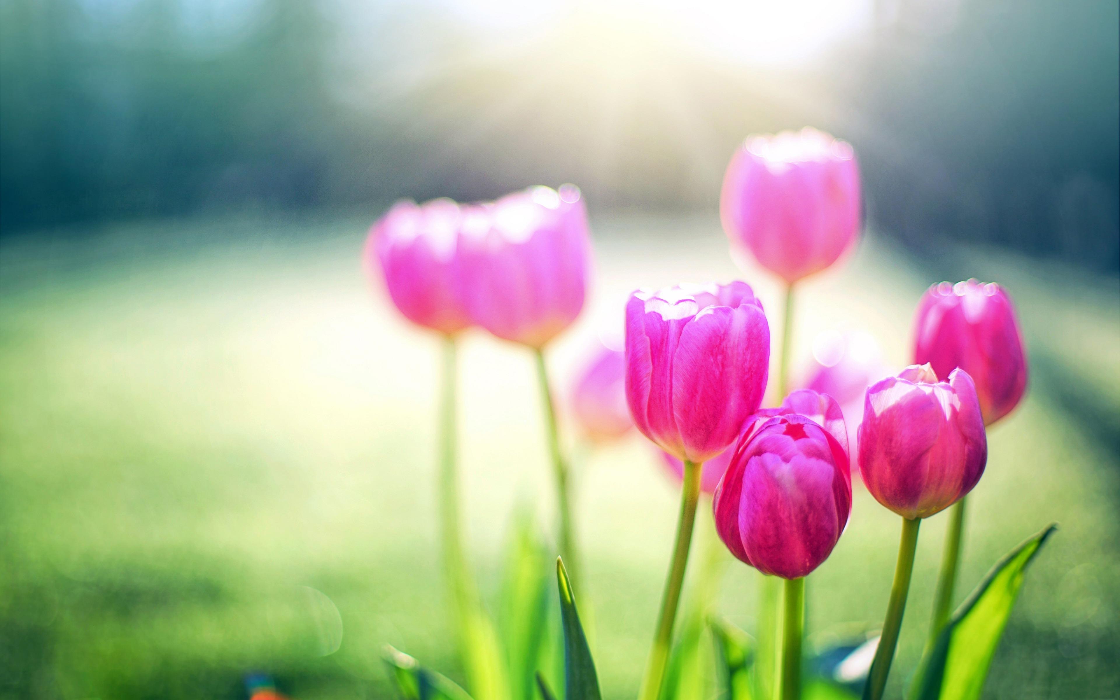 hình nền hoa tulip full hd