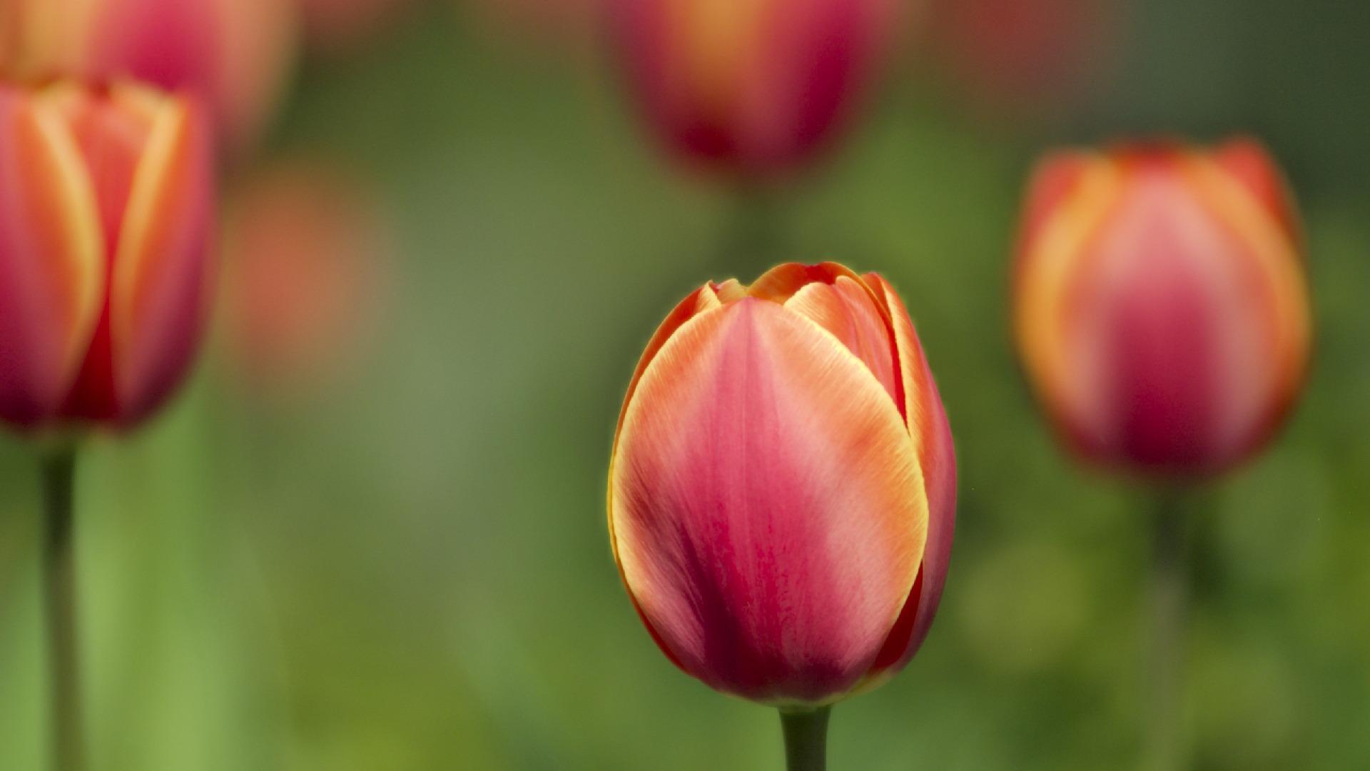 tải hình hoa tulip về máy tính