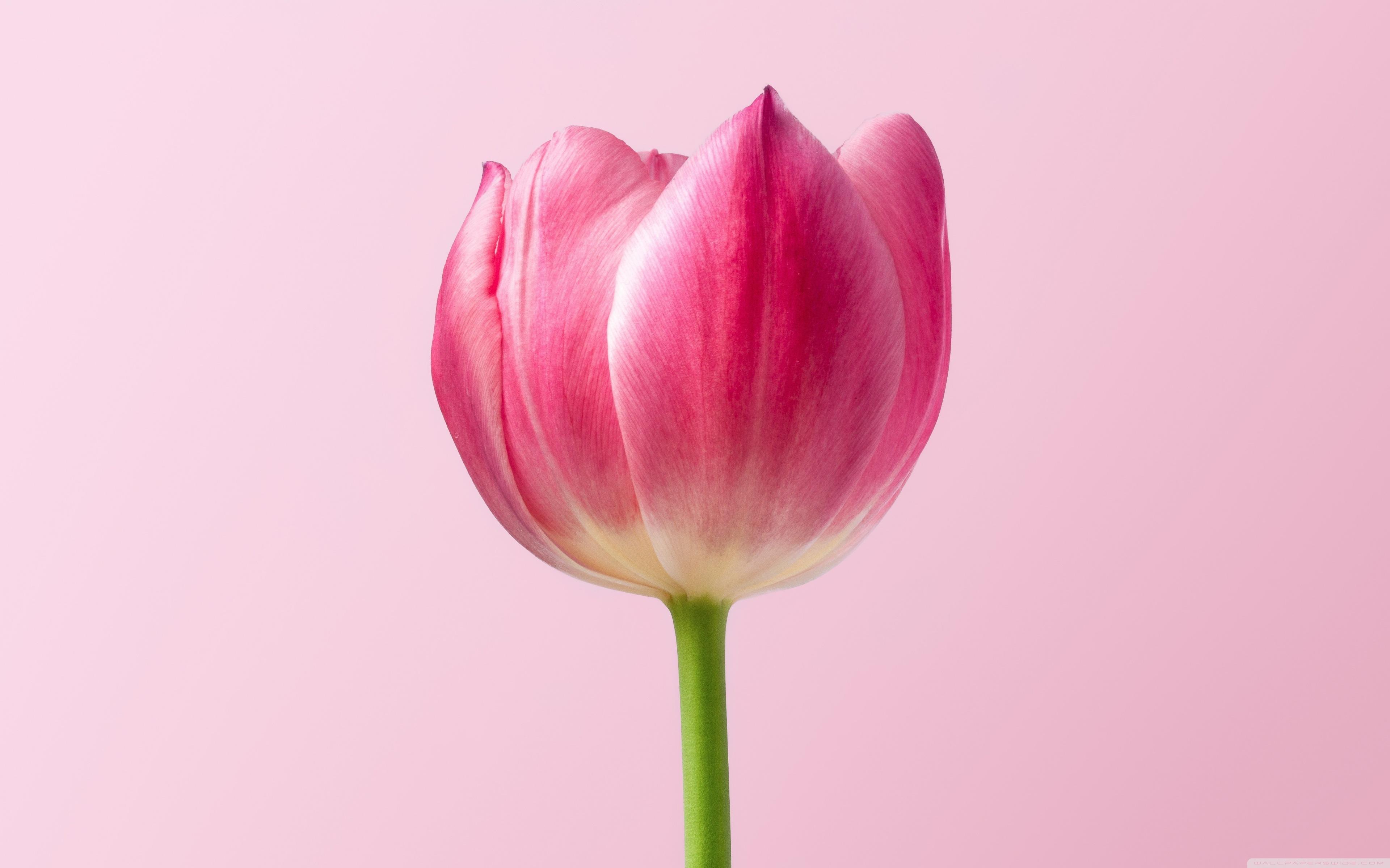 tải ảnh hoa tulip đẹp nhất