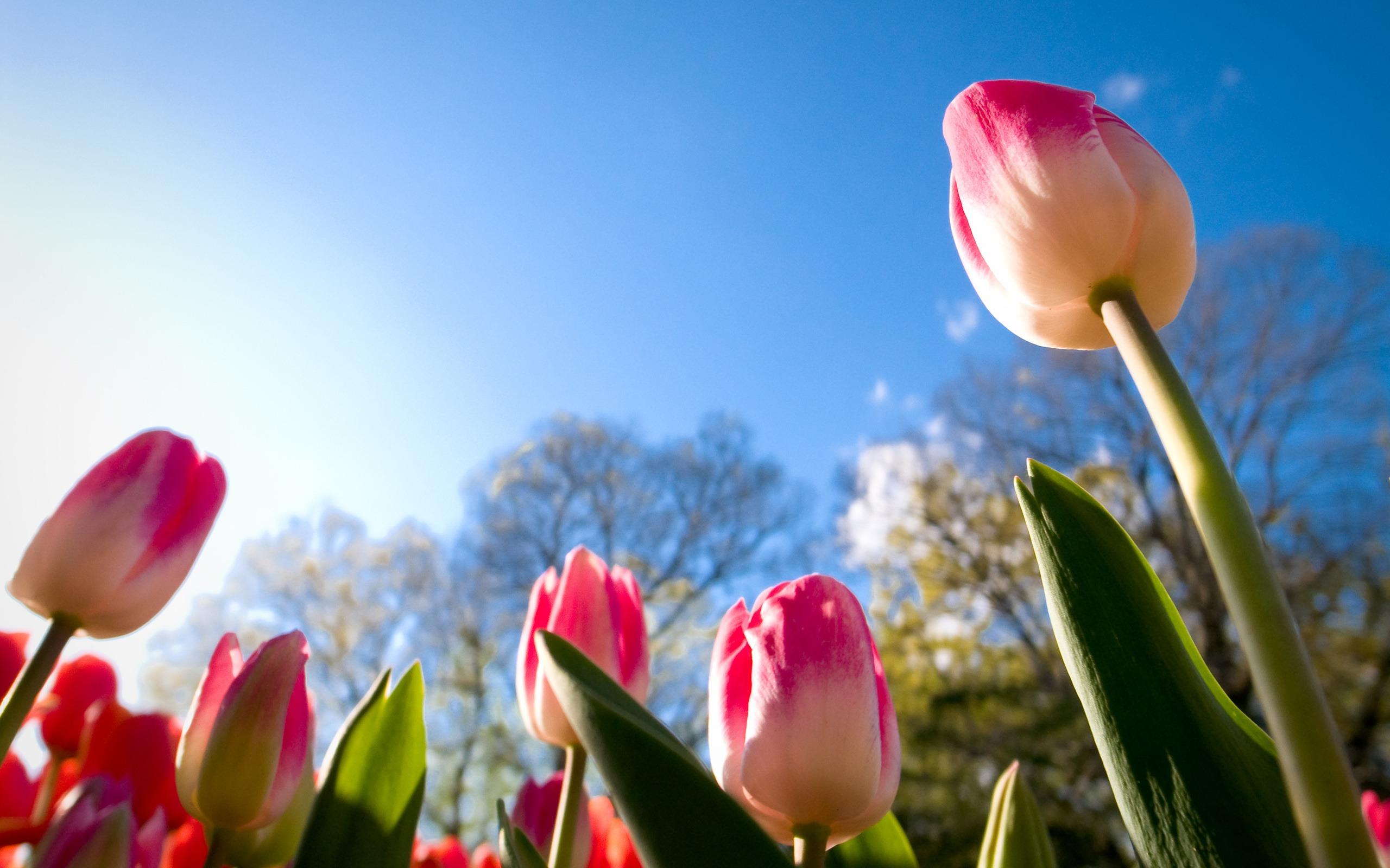 hinh nen hoa tulip 5