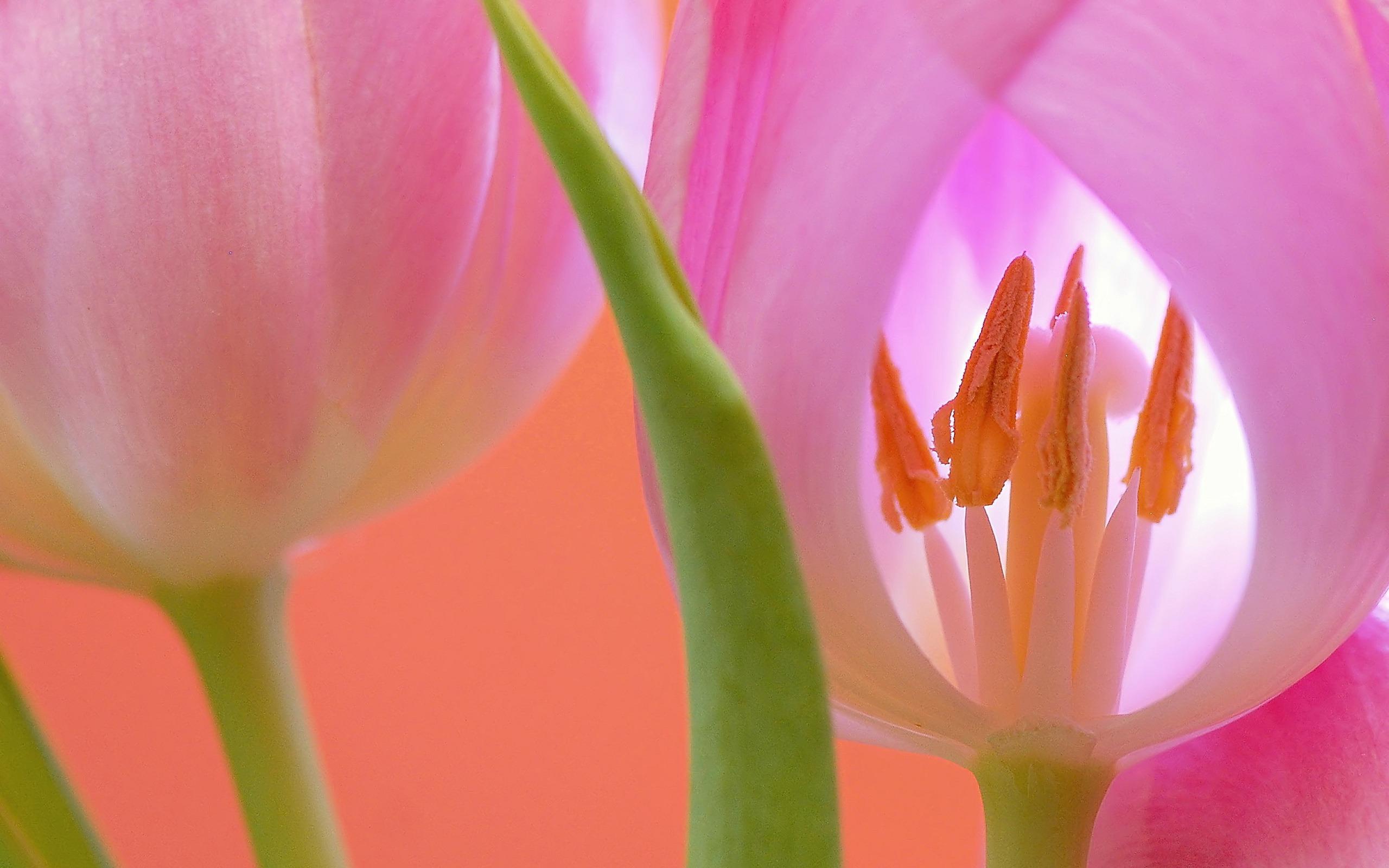 hinh nen hoa tulip 7