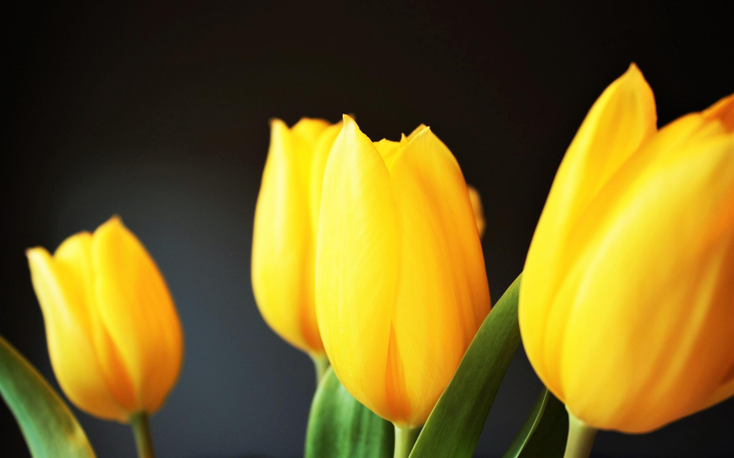 hinh nen hoa tulip 9