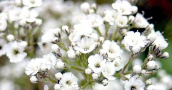 Hình ảnh hoa Baby đẹp dễ thương